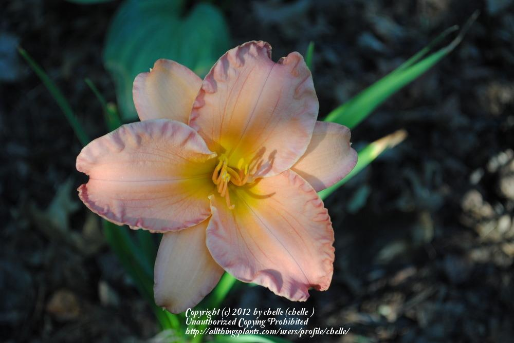 Photo of Daylily (Hemerocallis 'Smoky Mountain Autumn') uploaded by chelle