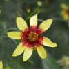 Coreopsis 'Route 66' is very hardy.