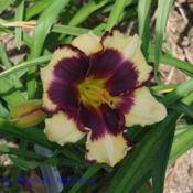 Date: 2011-07-03Photo Courtesy of Mr. Fancy Plants Daylily Nursery Used with Perm