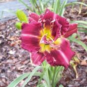 Image courtesy of Johnson Daylily Gardens Used with permission