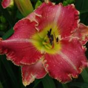 Photo Courtesy of Mr. Fancy Plants Daylily Nursery Used with Perm