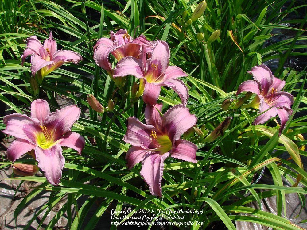 Photo of Daylily (Hemerocallis 'Blueberry Breakfast') uploaded by Joy