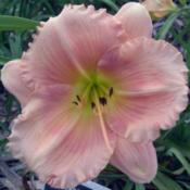 Photo Courtesy of Earlybird Daylilies. Used with Permission.