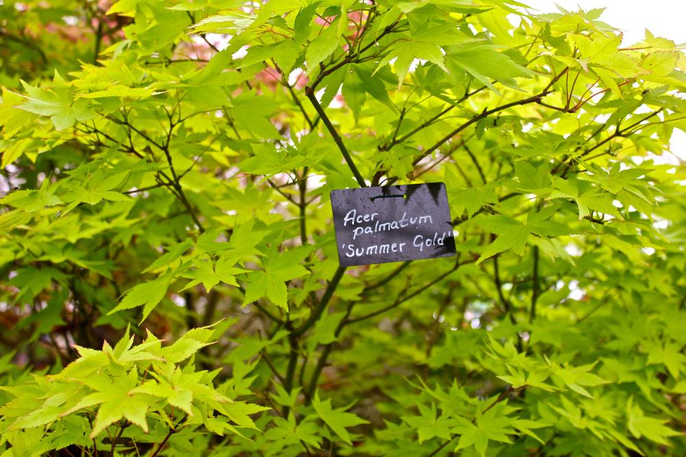 Photo Of The Leaves Of Japanese Maple Acer Palmatum Summer Gold