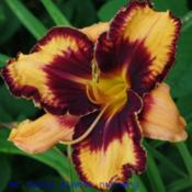 Photo Courtesy of Mr. Fancy Plants Daylily Nursery Used