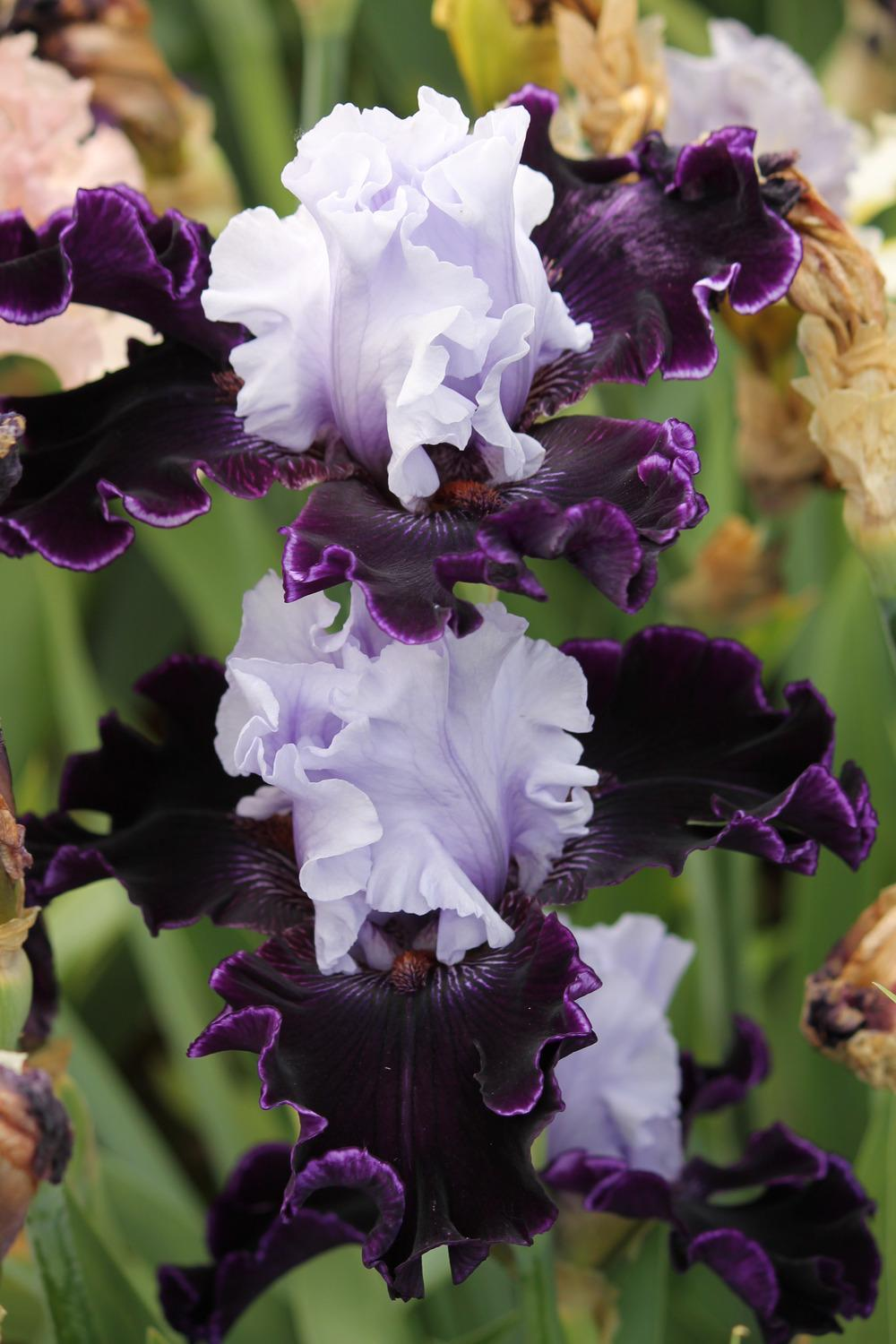 Photo of Tall Bearded Iris (Iris 'Wicked Good') uploaded by ARUBA1334