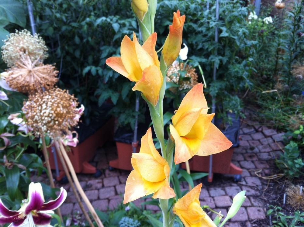 Photo Of The Bract Of Hybrid Gladiola Gladiolus Boone Posted