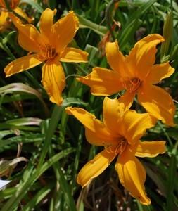 Photo of Daylily (Hemerocallis 'Jersey Spider') uploaded by Joy