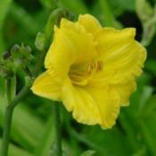 Photo Courtesy of Earlybird Daylilies. Used with Permis