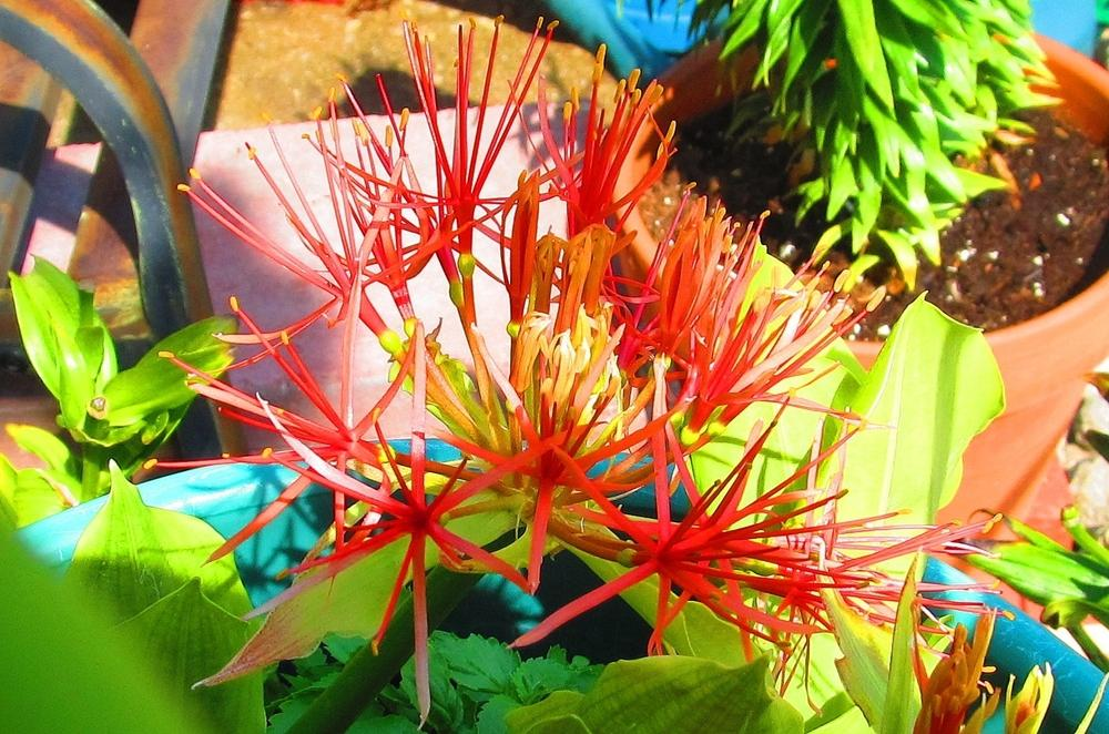 Photo of African Blood Lily (Scadoxus multiflorus) uploaded by jmorth