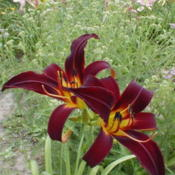 Photo Courtesy of May's Acres Daylilies. Used with Perm