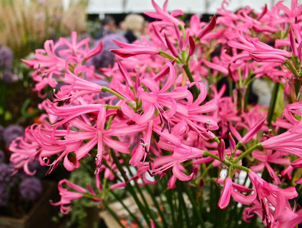 Photo of Guernsey Lily (Nerine bowdenii) uploaded by NEILMUIR1