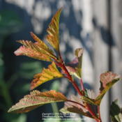 Location: West Valley City, UTDate: 2012-07-17New growth. Stems are red and darken as they age.