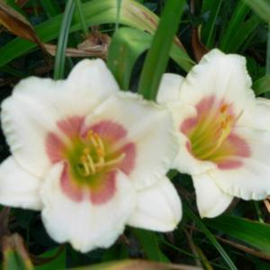 Courtesy of John B. Paine III of Richmond Daylilies Used with Per