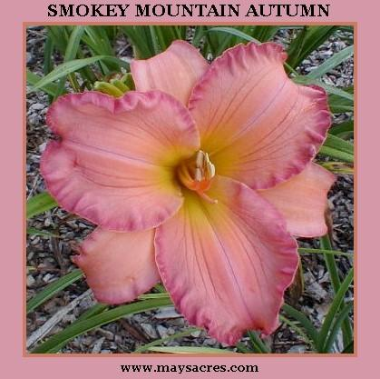 Photo of Daylily (Hemerocallis 'Smoky Mountain Autumn') uploaded by Joy