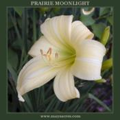 Photo Courtesy of May's Acres Daylilies. Used with Permission.