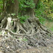 Location: Indiana  Zone 5Date: 2012-07-20roots along the White river