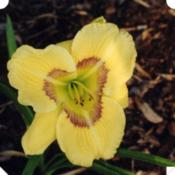 Photo Courtesy of Nottawasaga Daylilies. Used with Perm