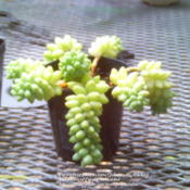 Date: 2012-07-12A small sedum i picked up from garden center.