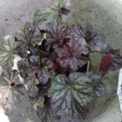 Location: Suburban Denver, ColoradoDate: 2012-07-22Heuchera Black Currant before planting