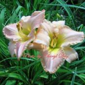 Location: New Richmond, OhioDate: 2009-02-12Photo by Cheryl Day of  'Cheryl's Daylilies'