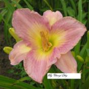 Date: 2008-07-05Photo by Cheryl Day of Cheryl's Daylilies