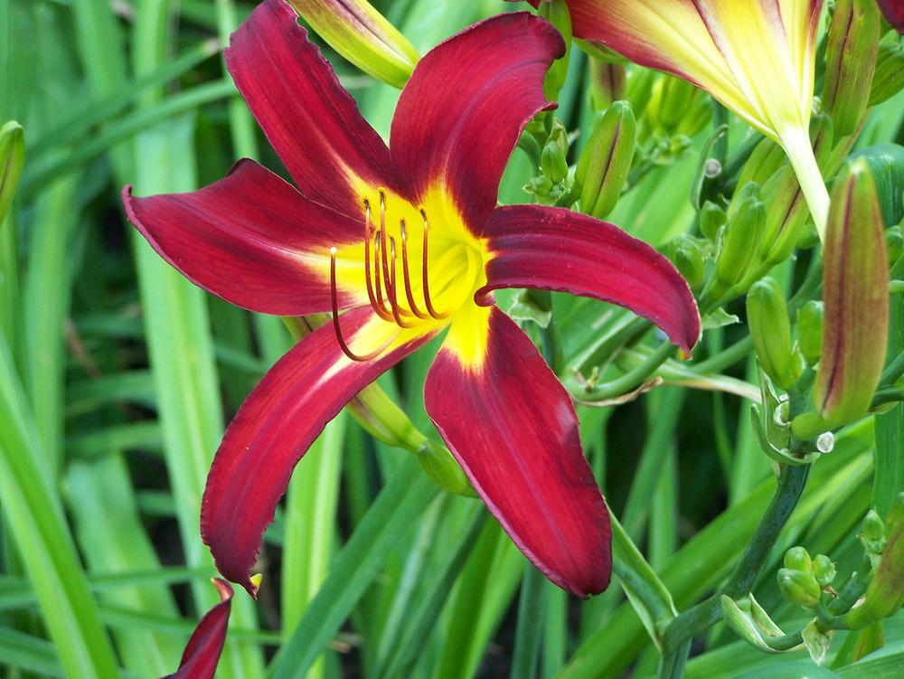 Photo of Daylily (Hemerocallis 'Holly Dancer') uploaded by Calif_Sue