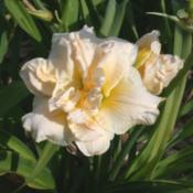 Photo Courtesy of Nottawasaga Daylilies. Used with Permission.