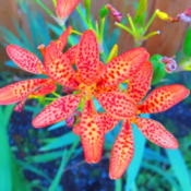 Location: central IllinoisDate: 2012-07-24Blackberry Lily