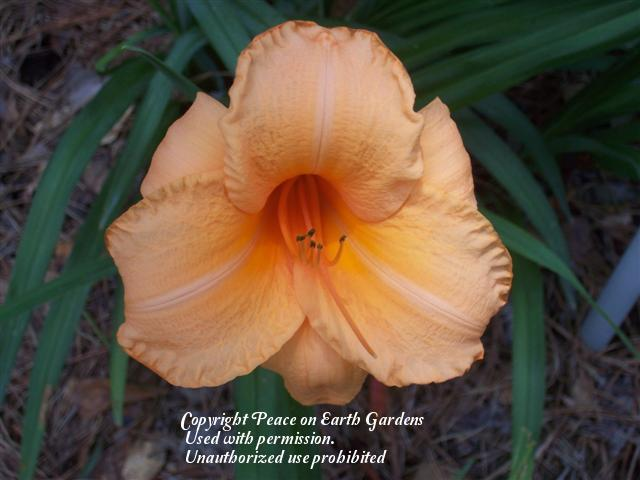 Photo of Daylily (Hemerocallis 'Flames of Fortune') uploaded by vic