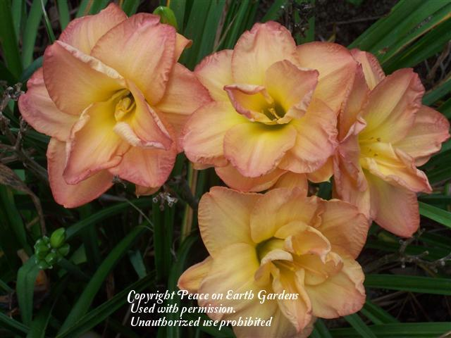 Photo of Daylily (Hemerocallis 'Frances Joiner') uploaded by vic