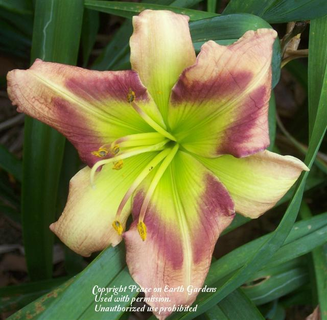 Photo of Daylily (Hemerocallis 'Green Rainbow') uploaded by vic