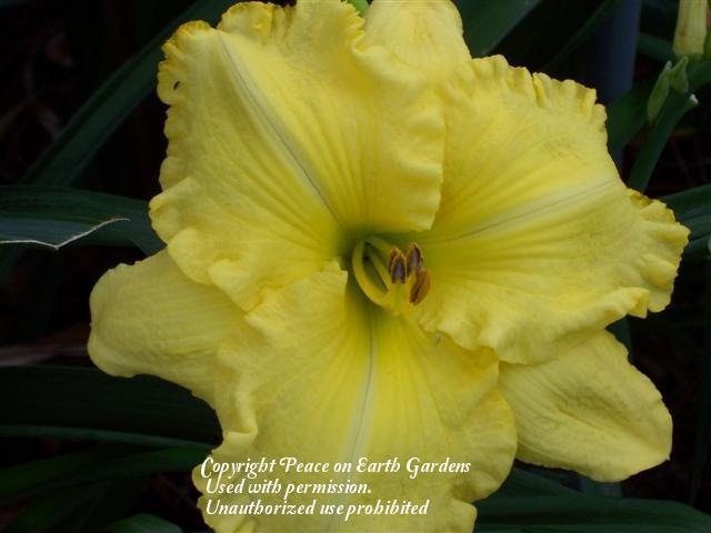 Photo of Daylily (Hemerocallis 'Hot Cakes') uploaded by vic