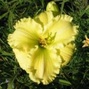 Photo Courtesy of Cheryl's Daylilies. Used with Permiss