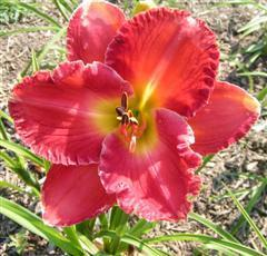 Photo of Daylily (Hemerocallis 'Red Loveliness') uploaded by Joy