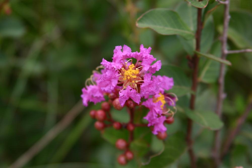 Photo of Crepe Myrtle (Lagerstroemia 'Zuni') uploaded by dave