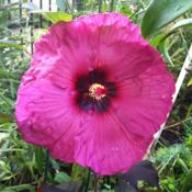 Location: Chicago, ILDate: 2012-07-28 Gorgeous flower color similar to 'Raspberry Wine' Monar