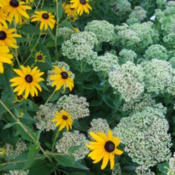 Location: With Rudbeckia GoldstrumDate: 2012-07-28