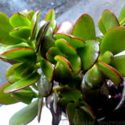 Date: 2012-07-29[...my beautiful Crassula leaves.]