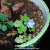 Location: West Valley City, UTDate: 2009-10-19I think I grew the smallest one ever. It had 2 flowers,