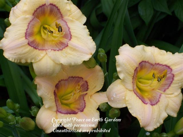 Photo of Daylily (Hemerocallis 'Little Print') uploaded by vic
