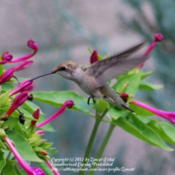 Location: West Valley City, UTDate: 2011-08-03This plant is a Hummingbird magnet. The flowers aren't even open