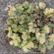 Location: Wilmington, DEDate: 2012-07-31Summer foliage color.