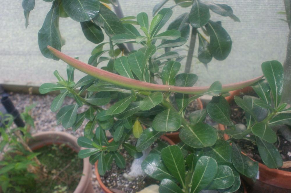 Photo of Desert Rose (Adenium obesum) uploaded by rucky