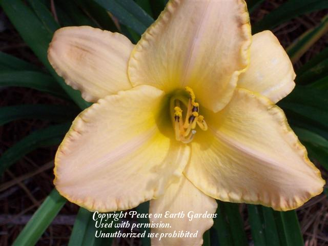 Photo of Daylily (Hemerocallis 'Pleated Gown') uploaded by vic