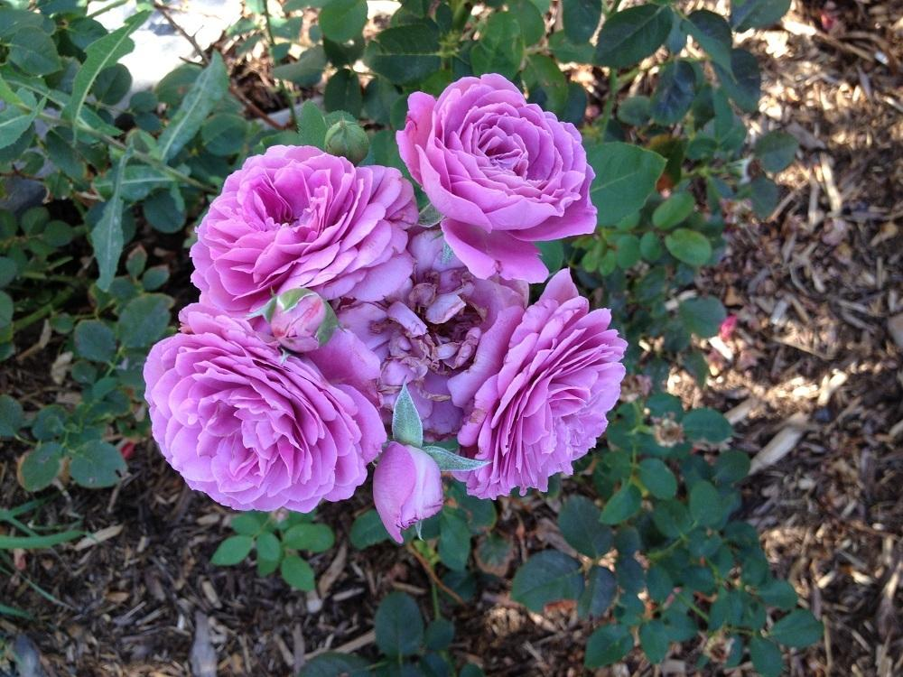 Photo of Rose (Rosa 'Magenta') uploaded by Skiekitty