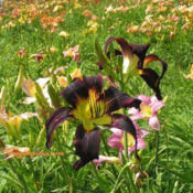 Location: New Richmond, OhioDate: 2008-10-29Photo by Cheryl Day of  'Cheryl's Daylilies'