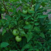 Location: Indiana  Zone 5Date: 2012-08-05unripe fruit