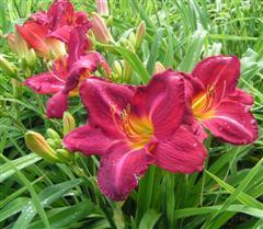 Photo of Daylily (Hemerocallis 'Charles Johnston') uploaded by Joy