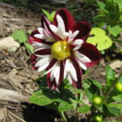 Location: Indiana  Zone 5Date: 2012-08-06bedding dahlia